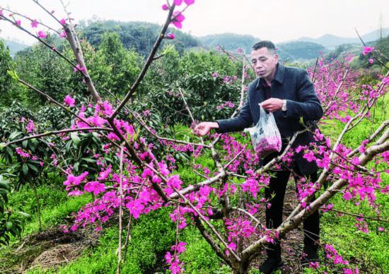 摘花取粉育种