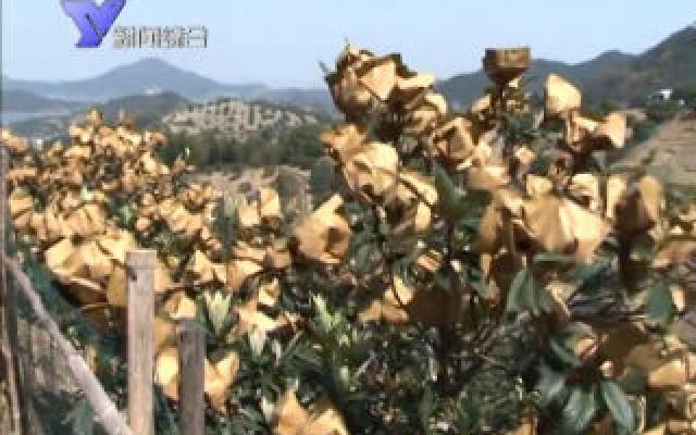 春日枇杷套袋 促进农户增收