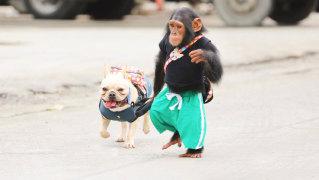 神奇伙伴在哪里 第1期全程:猩猩也会用洗衣机?路遇恶霸机智过关