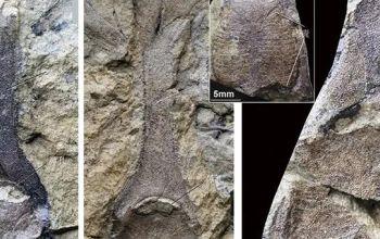 """云南一地首次发现4.1亿年前""""三叉戟"""""""