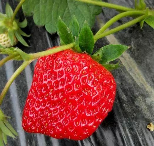 大棚9个,园内所以草莓均为有机种植,无农药化肥,无膨大剂,草莓果实