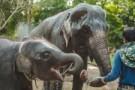 """受疫情影响 泰国上千头大象面临""""失业""""和挨饿"""