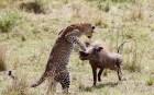 攝影師抓拍懷孕母豹飛身躍起捕食疣豬