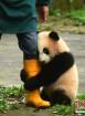 初次见游客 大熊猫宝宝抱饲养员大腿