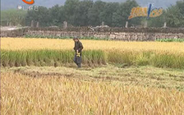 晚稻收割大面積展開 產量更高品質更優
