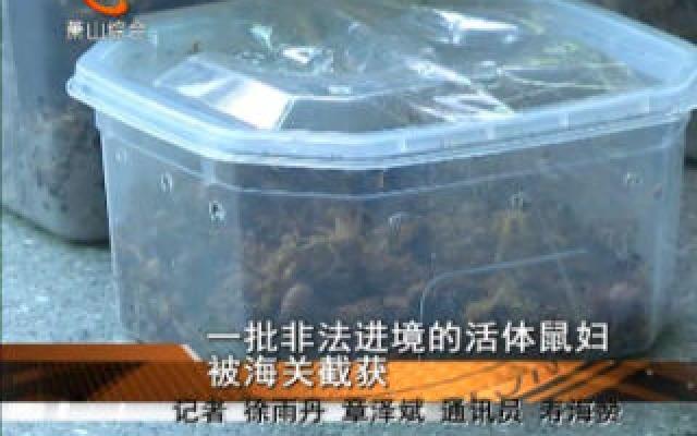 一批非法進境的活體鼠婦被海關截獲