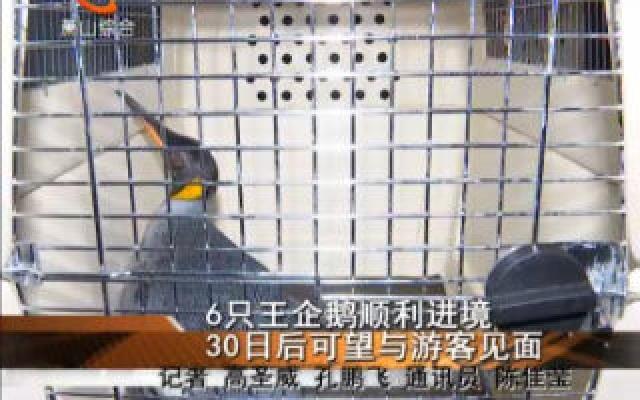 6只王企鹅顺利进境 30日后可望与游客见面