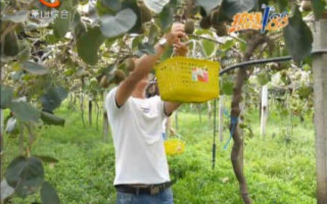 红心猕猴桃喜迎收获季 采摘尝鲜正当时