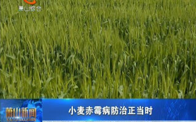 小麦赤霉病防治正当时