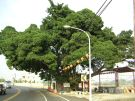 义桥子老树